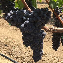 Barbera (Lanza Vineyards) (36lb)