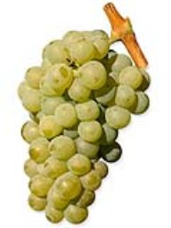 Sauvignon Blanc (Lanza Vineyards) (36lb)